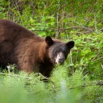 Cinnamon (Black) Bear