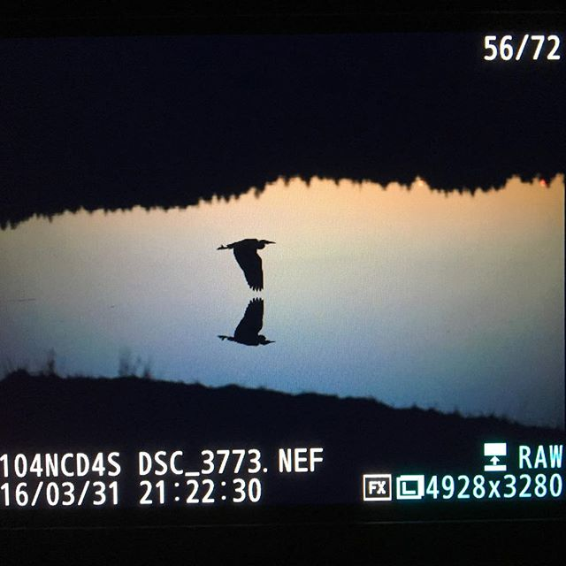 Not a bad evening for a stroll with a camera. #wildlife #silhouette #juneau